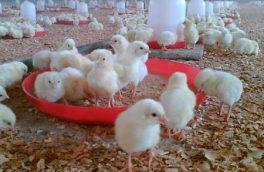تولید سالانه ۲۰۰ هزار قطعه جوجه در آذربایجان غربی
