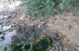 ۲۶ قطعه کبوتر به دلایل نامعلومی در ۲ روستای سلماس تلف شدند
